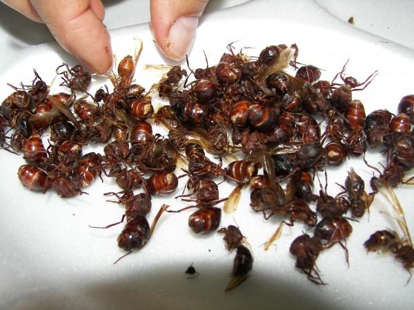 Resultado de imagen para hormigas chicatanas