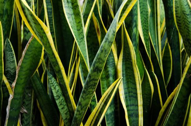 planta-lengua-de-serpiente